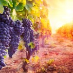 Into The Grape Unknown: The Hidden Bounty of California Wine Country